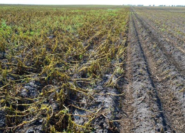 Картофельное поле с засохшей ботвой перед уборкой урожая