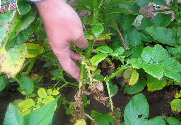 Засыхание оистьев картофель при поражении растения грибковыми заболеваниями