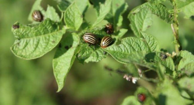 Полосатый колорадский жук на темно-зеленых листьях картофеля