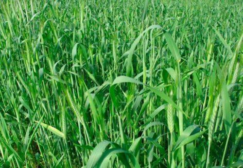 Колосья ржи, выращиваемой для повышения плодородности земли после картошки