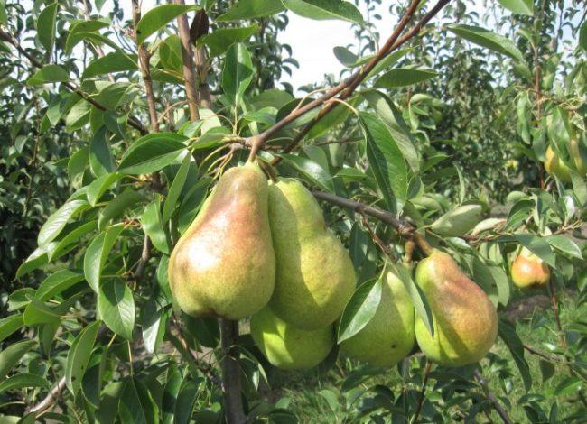 Плоды груши сорта Аббат Фетель на ветке взрослого дерева
