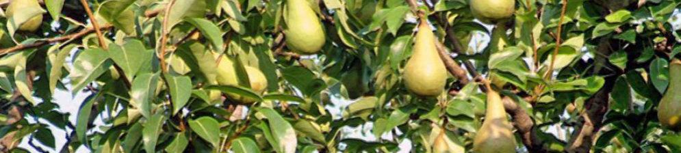 Плоды груши сорта Аббат Феттель на дереве созревают