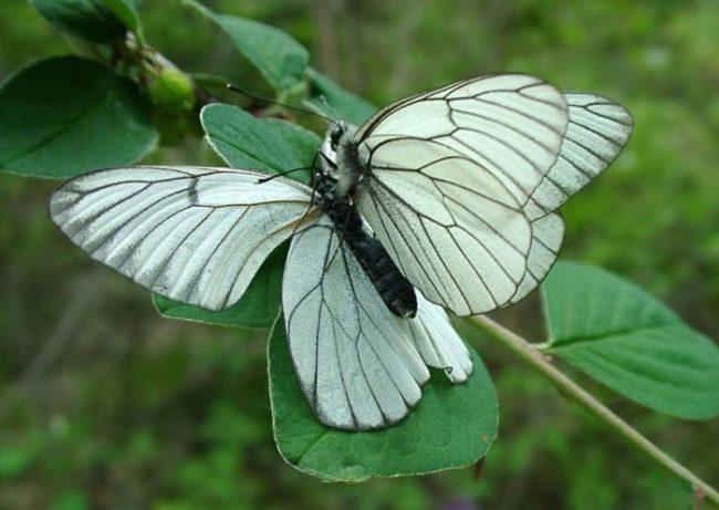 Фото бабочки боярышницы с черно-белыми крыльями на ветке груши