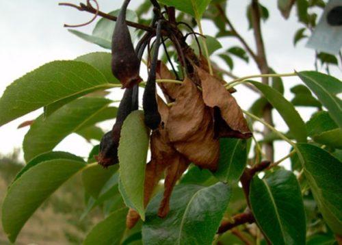 Засохшие листья на больном дереве груши