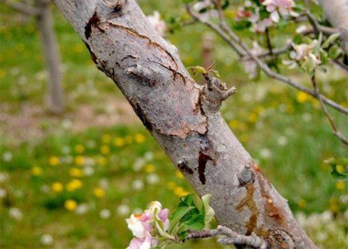 Ветка грушевого дерева с признаками поражения бактериозом