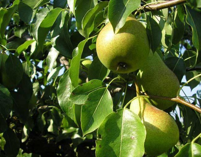 Плоды среднего размера груши сорта Башкирская осенняя