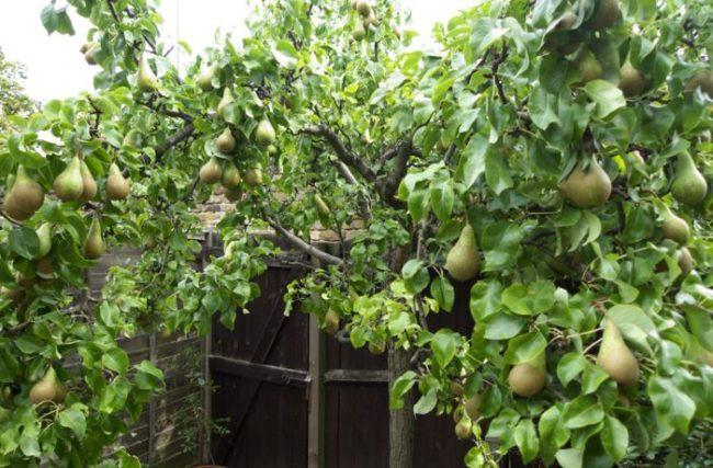 Взрослое дерево груши с плодами на ветках сорта Бере Арданпон