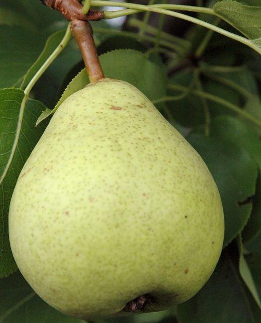 Плод груши сорта Бере Мичурина с кожицей светло-зеленого окраса