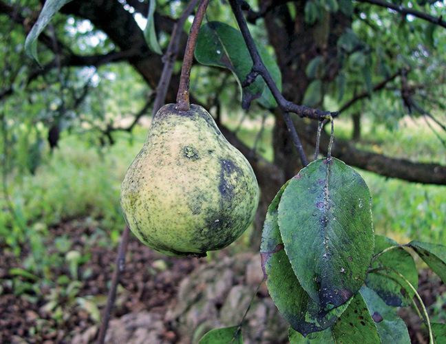 Плод и листья больной груши, пораженной медяницей и сажевым грибком