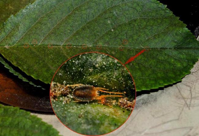 Фото бурого плодового клеща на листе груши под большим увеличением