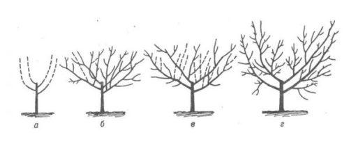 Схема обрезки кроны груши в виде чаши