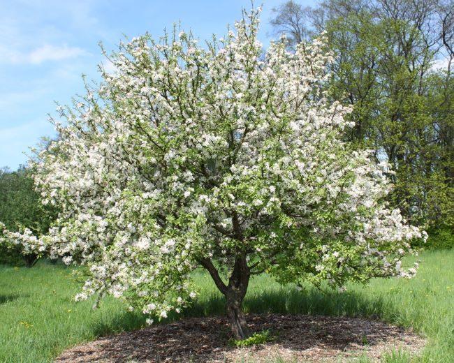 Взрослое дерево груши сорта Челябинская зимняя в период весеннего цветения