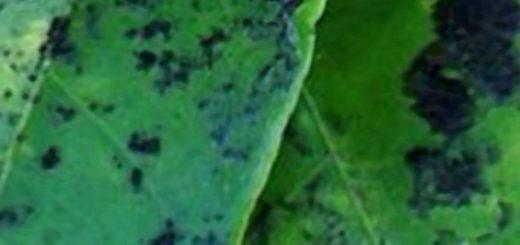 Почернели листья у груши сажевый грибок
