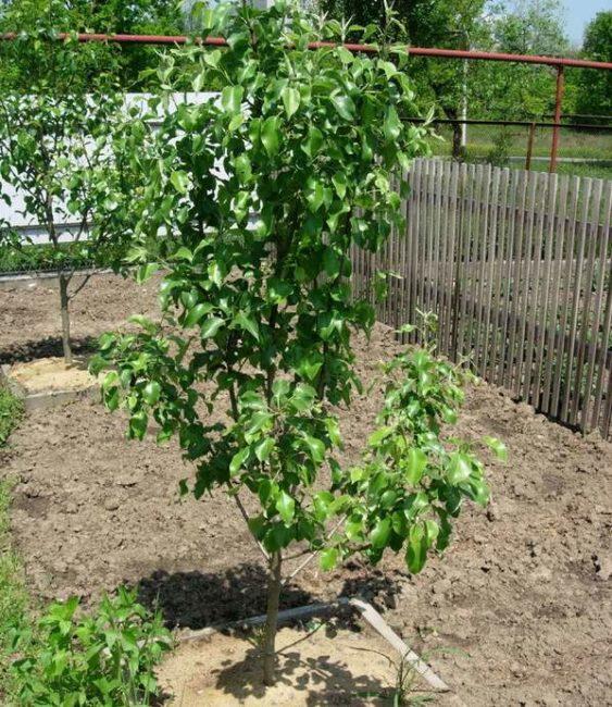Пятилетнее деревце груши в палисаднике загородного дома