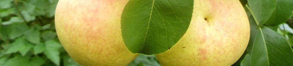 Спелые плоды груши сорта Чижовская вблизи