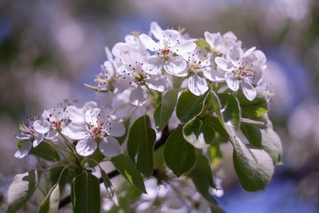 Цветки на ветке грушевого дерева, растущего в Центральном регионе страны