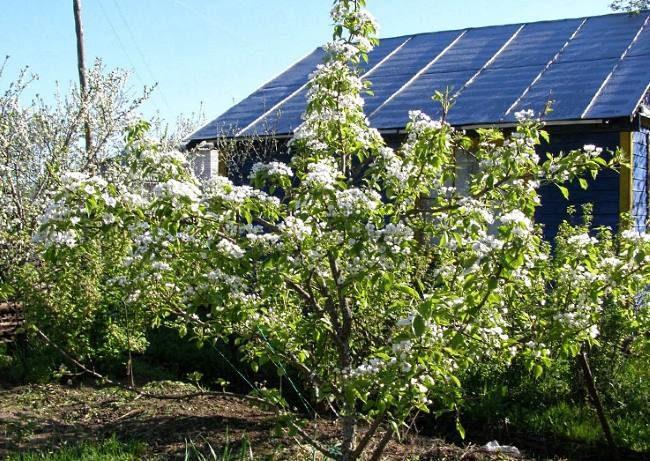 Цветение молодого деревца груши на приусадебном участке