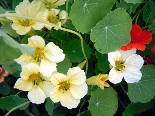 Настурция как средство борьбы с колорадским жуком на картошке