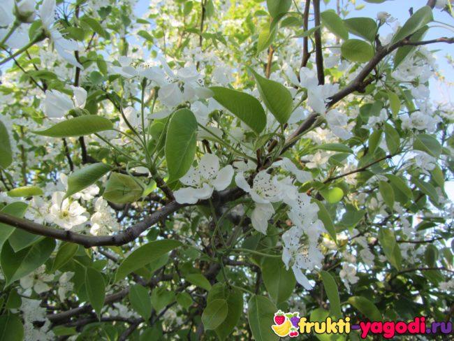 Цветение груши через шесть лет после посадки на постоянное место