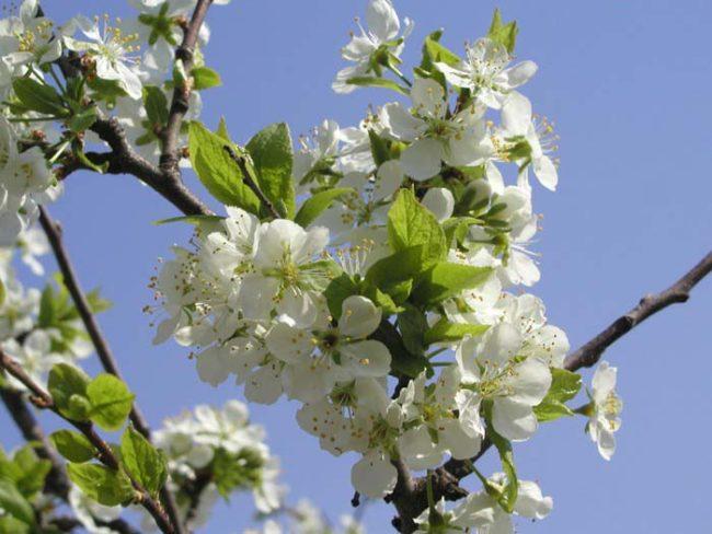Обильное цветение грушевого дерева в конце апреля