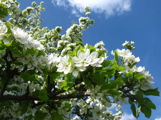 Цветение грушевого дерева крупными соцветиями белого оттенка
