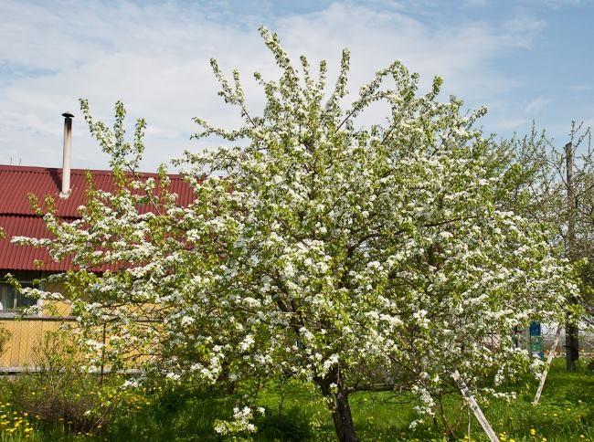Цветение взрослого дерева груши в Средней полосе России