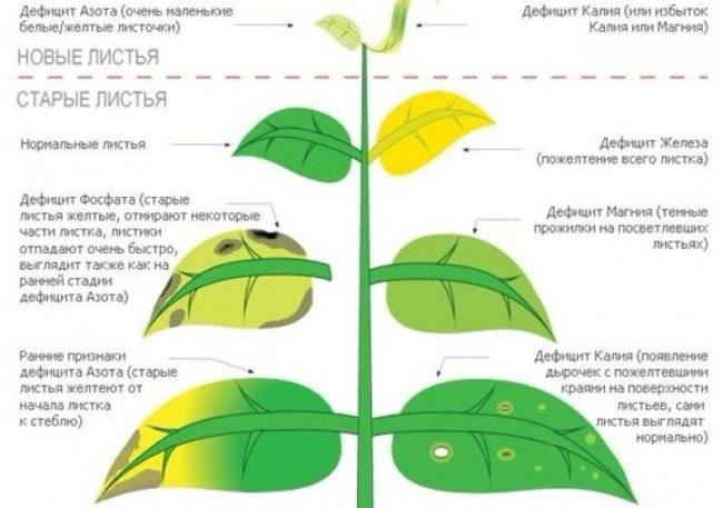 Изменение окраски листьев груши в зависимости от дефицита питательных элементов
