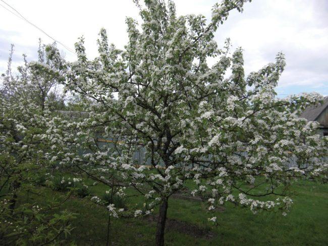 Взрослое деревце груши сорта Тихий дон в период цветения