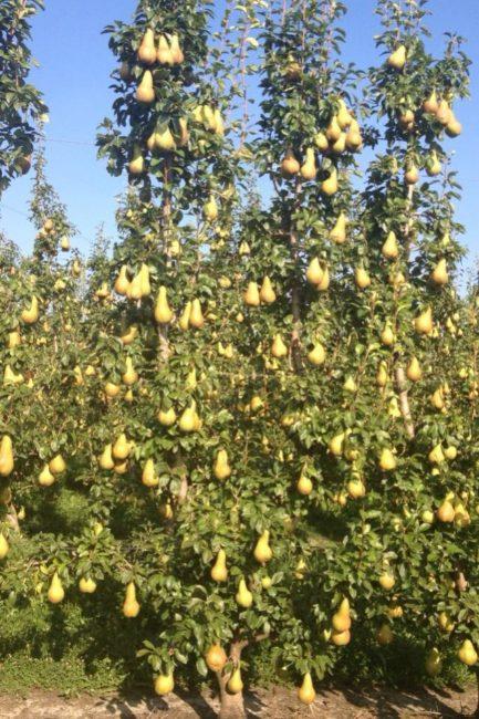 Взрослое дерево груши сорта Аббат Фетель во время плодоношения