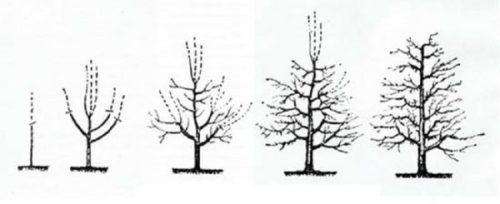 Схема поэтапной обрезки кроны груши с первого по пятый года