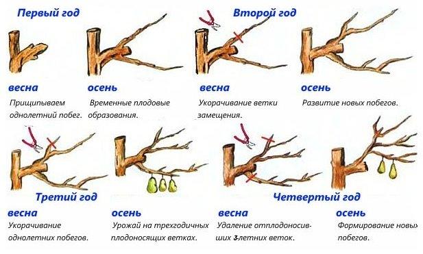 Схема обрезки грушевого деревца в первые четыре года жизни