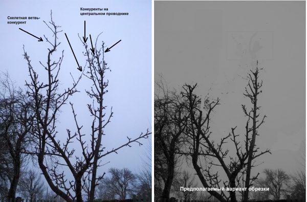 Удаление скелетных веток груши, фото до и после обрезки