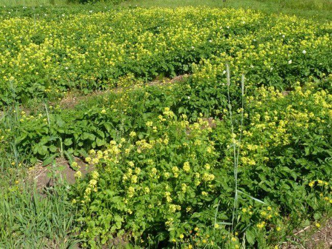 Посадки горчицы на садовом участке для восстановления почвы перед выращиванием картошки