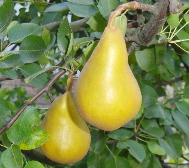 Внешний вид плодов груши сорта Гранд Чернозём