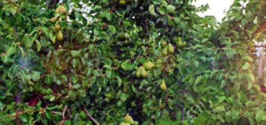 Дерево груши с плодами в Северо-западном регионе России