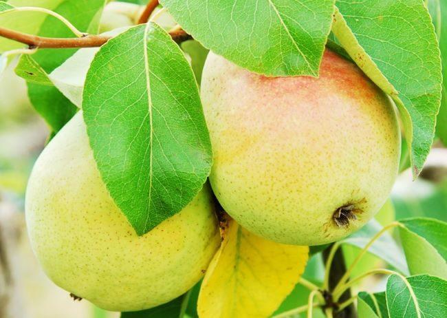 Желто-оранжевые плоды гибридной груши сорта Челябинская зимняя
