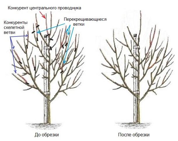 Схема обрезки груши в четырехлетнем возрасте