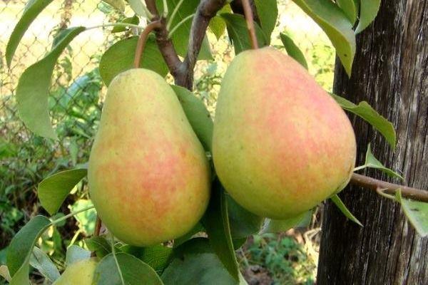 Два спелых плода груши сорта Чижовская розово-зеленого окраса