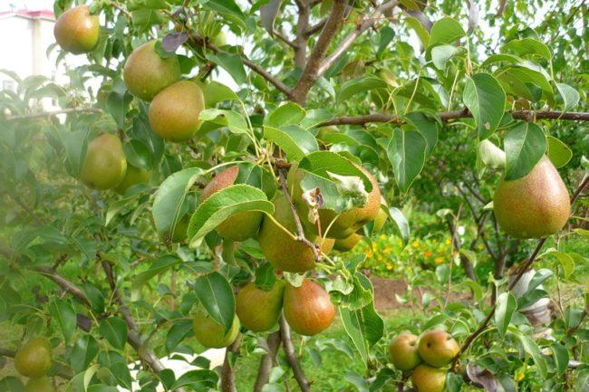 Спелые груши сорта Чижовская на ветках в период созревания плодв