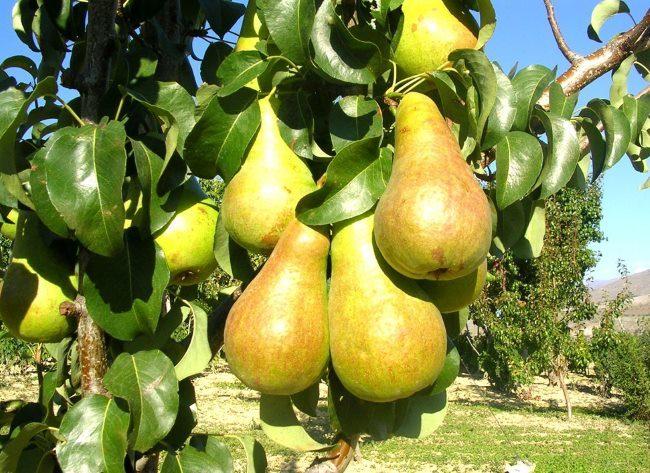 Ветка взрослого дерева груши с плодами сорта Чудесница