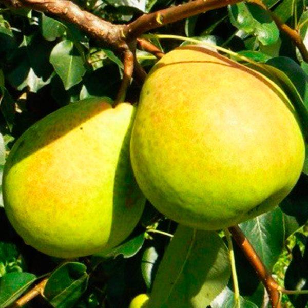 Спелые плоды груши сорта Есенинская осеннего срока созревания