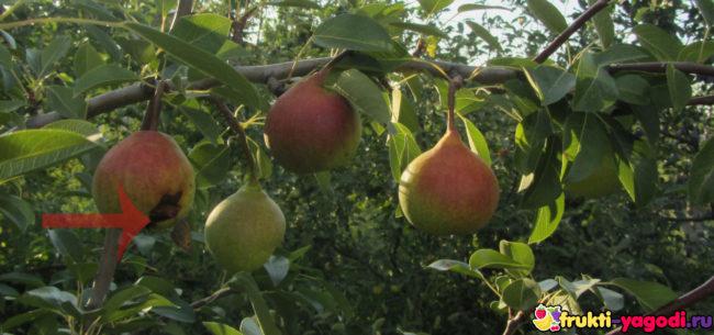 Поспевающий плод начинает гнить