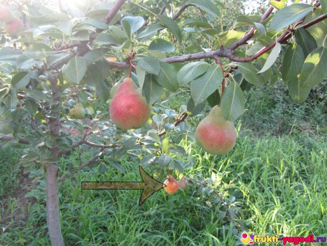 Спелые плоды груш и одна сгнившая