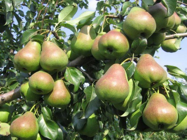 Ветки грушевого дерева, усыпанные спелыми плодами серо-розового цвета