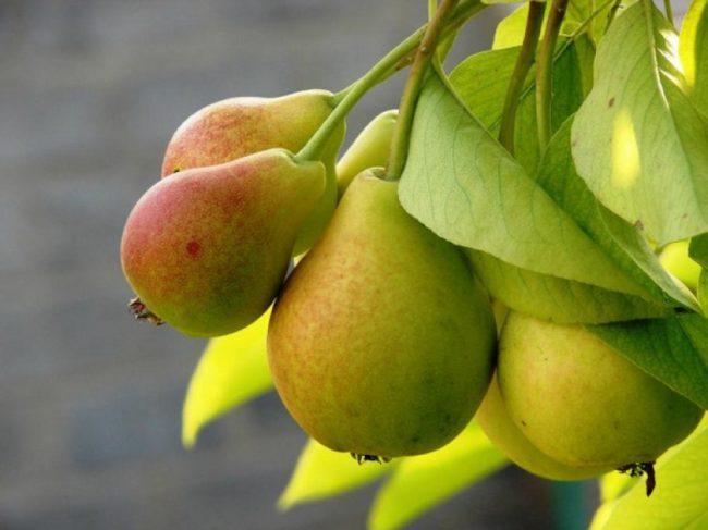 Ветка с плодами груши отечественного сорта Красавица Черненко