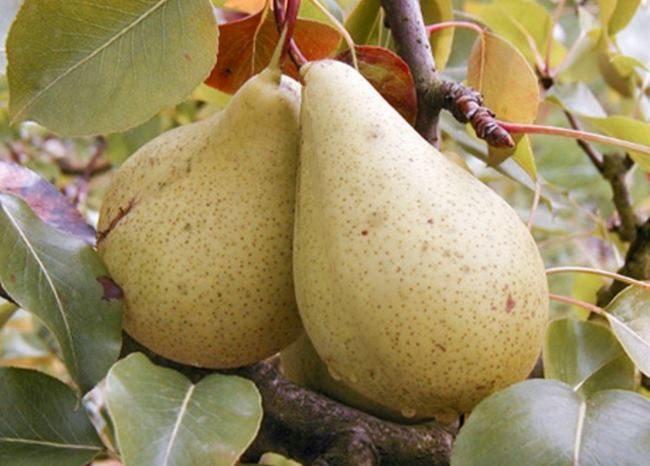 Спелые груши сорта Кюре с кожицей оливкового окраса