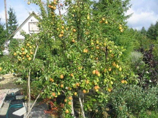 Груша Лесная Красавица со спелыми плодами на садовом участке