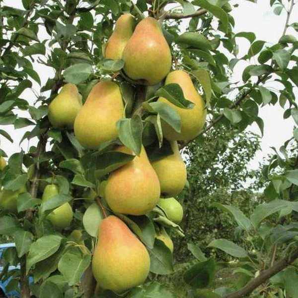 Вытянутые груши сорта Московская на ветке взрослого дерева
