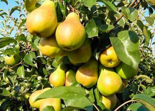 Плоды груши зеленовато-желтого цвета сорта Москвичка на ветках взрослого дерева