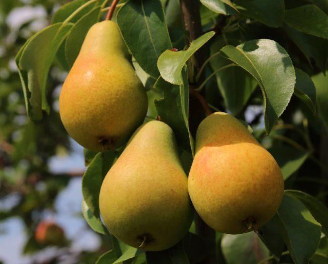 Фото плодов груши сорта Москвичка желто-зеленого цвета для средней полосы